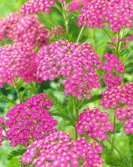 Punakärsämö Lilac Beauty