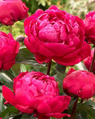 Kiinanpioni Red Sarah Bernhardt