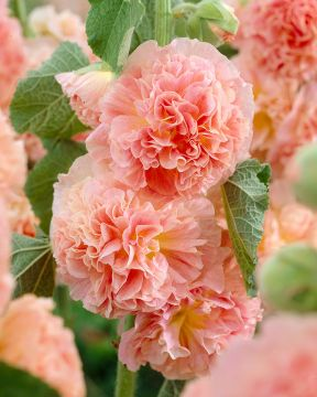 Tarhasalkoruusu Peaches and Dreams