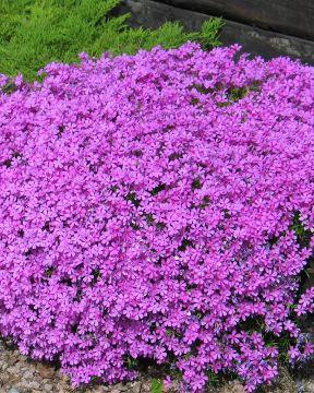 Sammalleimu Purple Beauty