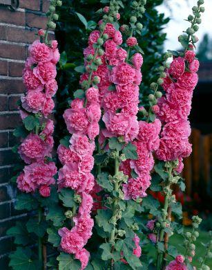 Tarhasalkoruusu vaaleanpunainen