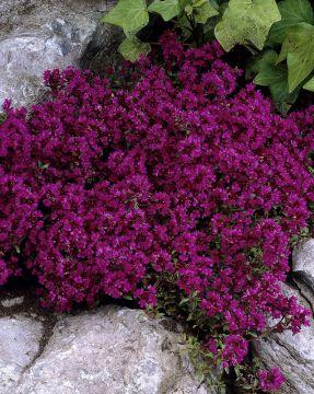 Ajuruoho Purple Beauty