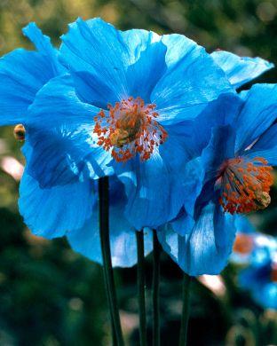 Sinivaleunikko