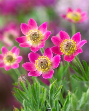 Amerikanvuokko Annabella Deep Rose