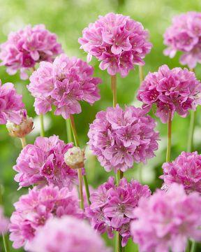 Maljalaukkaneilikka Ballerina Purple Rose
