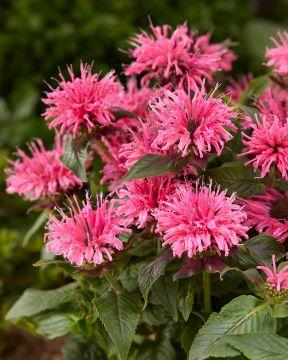 Punaväriminttu Balmy Pink