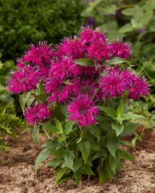 Punaväriminttu Balmy Purple