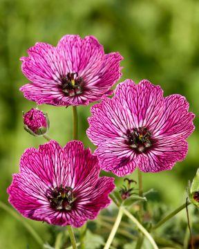 Harmaakurjenpolvi Jolly Jewel Lilac