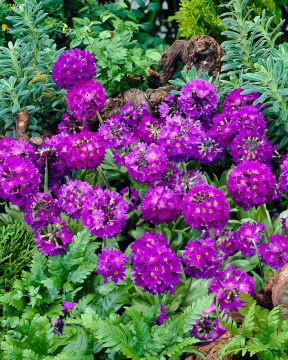 Palloesikko Lilac