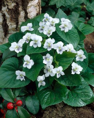 Perhosorvokki Albiflora