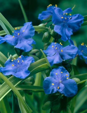 Tarhajuoru Zwanenburg Blue