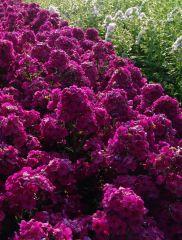 Syysleimu Raving Beauty