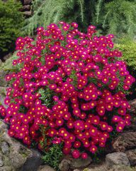 Syysasteri Crimson Brocade