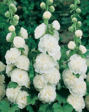 Tarhasalkoruusu valkoinen