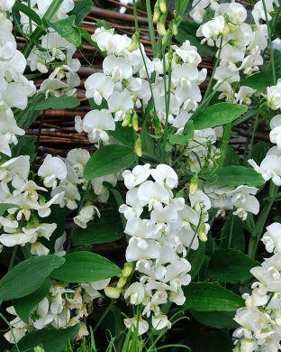 Ruusunätkelmä White Pearl
