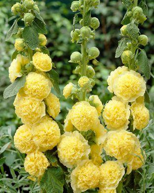 Tarhasalkoruusu Charter´s Double Yellow