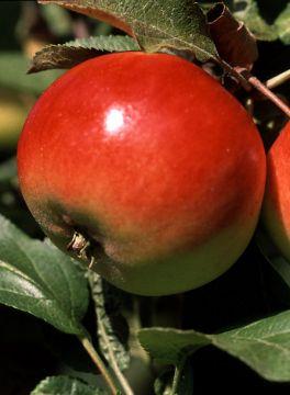Omenapuu Punakaneli
