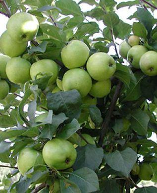 Omenapuu Valkeakuulas