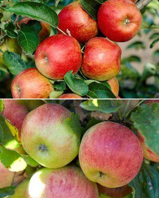 Omenapuu mix