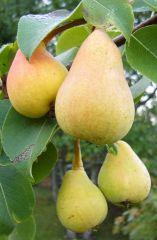 Päärynä Pepi