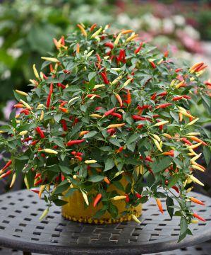 Chilipaprika Basket of Fire