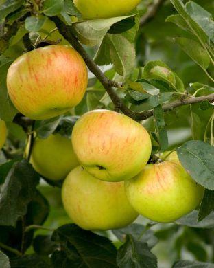 Omenapuu Keltakaneli