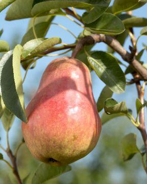 Tohtorin päärynä