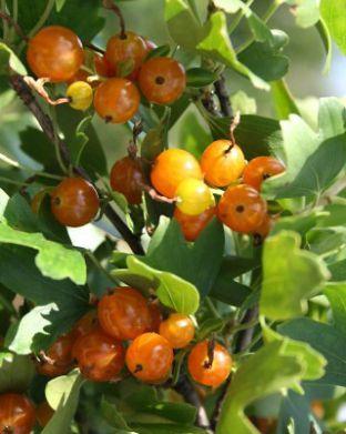Kultaherukka Orangesse