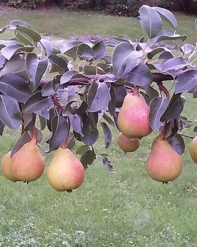 Päärynä Lada