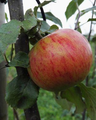 Omenapuu Hunajainen