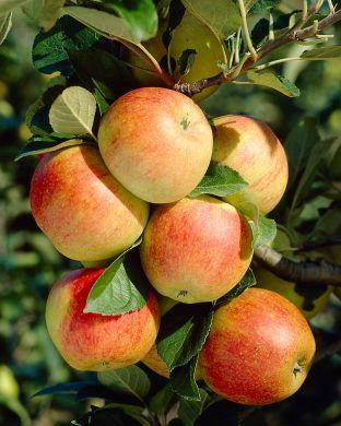 Omenapuu Kymppitonni