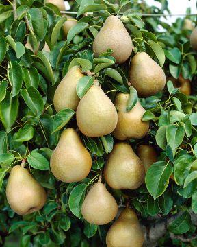 Päärynä Vekovaja