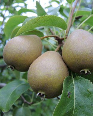 Päärynä Peukaloinen