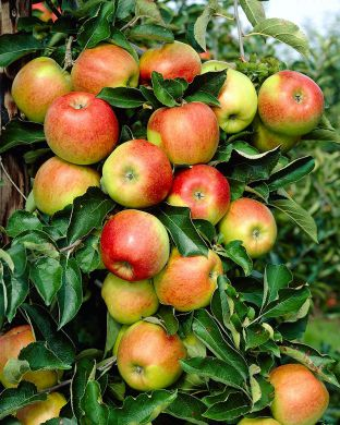 Omenapuu Punaposki