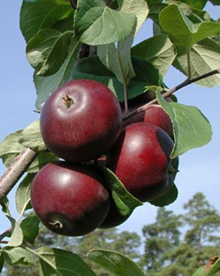 Omenapuu Pekka