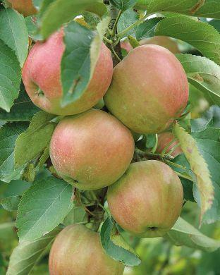 Omenapuu Nautinto