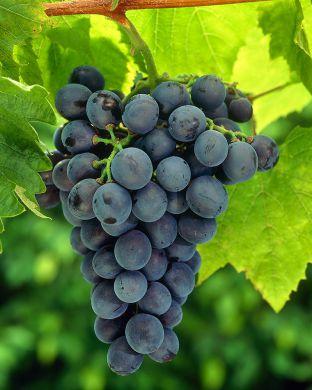 Viiniköynnös Hazaine Sladkii