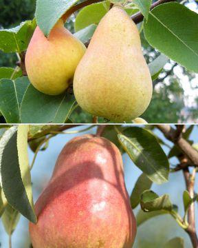 Päärynä mix
