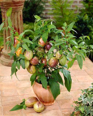 Päärynämeloni Pepino Gold