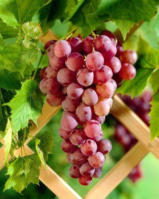Viiniköynnös Somerset Seedless