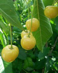 Makeakirsikka Liettuan Keltainen