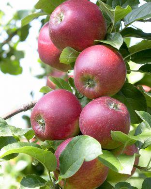 Omenapuu Dace