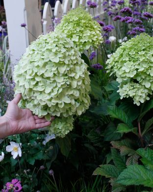 Syreenihortensia Limelight