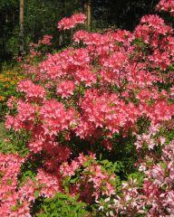 Revontuliatsalea Rosy Lights