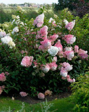 Japaninhortensia Vanille Fraise 3 litran taimi