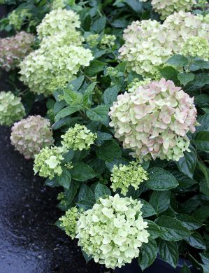 Syreenihortensia Little Limelight