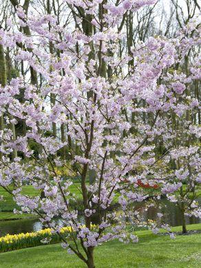 Koristekirsikka Kevätsuudelma