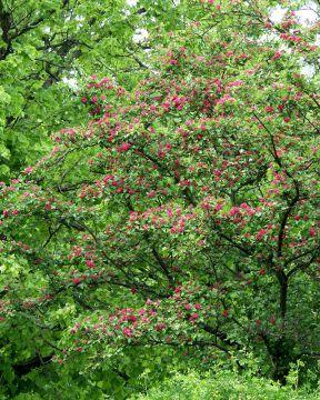 Ruusuorapihlaja