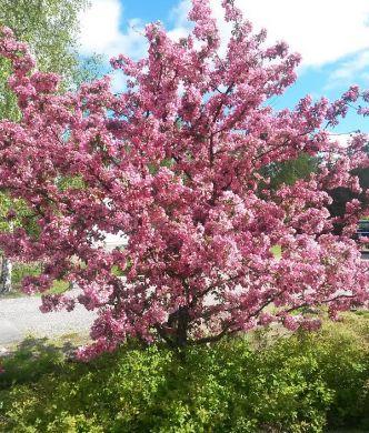 Purppuraomenapuu Makamik
