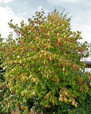 Kirsikkasorvarinpensas